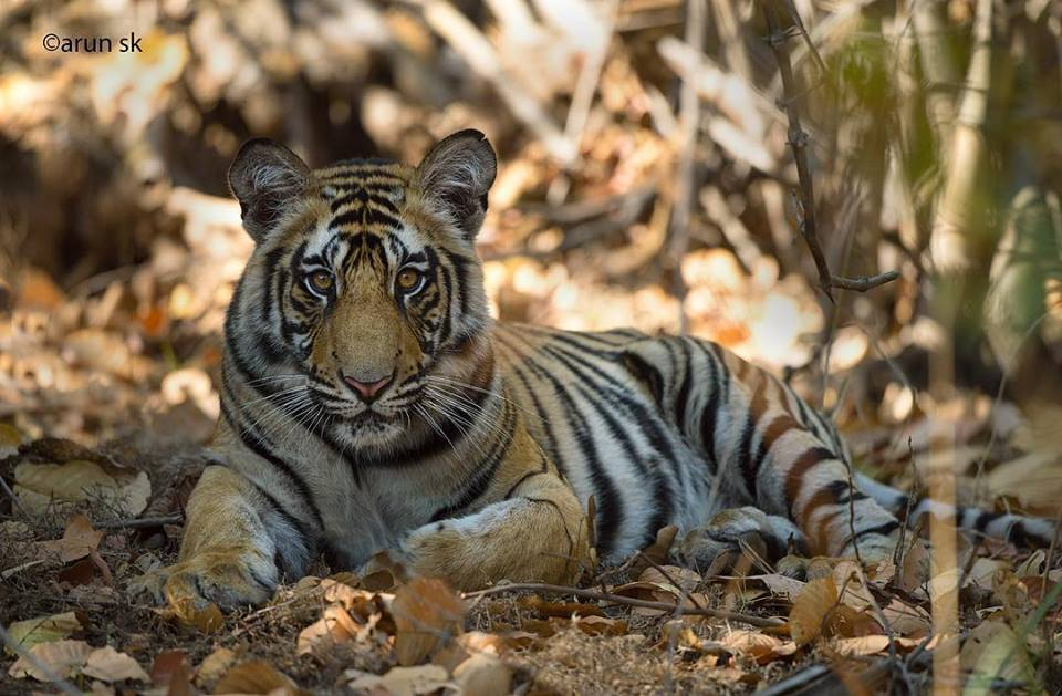 Wild Tiger Photography Bandhavgarh Tour India